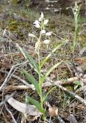 Cephalanthera longifolia B