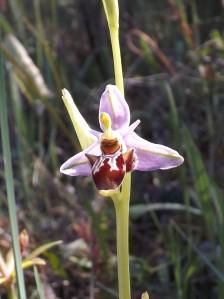 Ophrys apifera (FOTO1)
