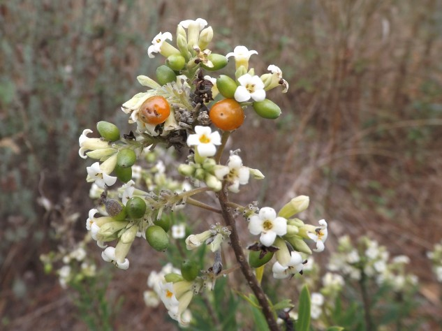 Daphne gnidium L. (Flor e fruto)