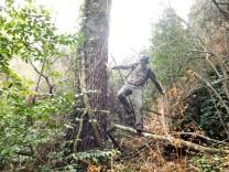 """Um pinheiro enorme abraçado por """"era"""", que trepa até bem alto. Já se vêem aqui alguns azereiros..."""