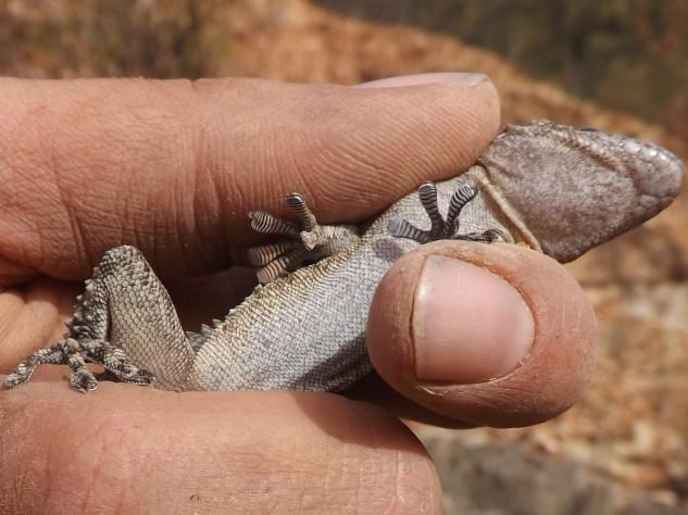Nesta foto podemos observar as lamelas que possui debaixo das patas.