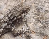 Osga-comum (Tarentola mauritanica)