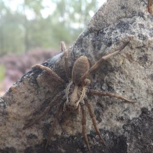Aranha-lobo (Hogna radiata)