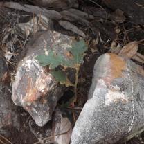 Carvalho-negral (Quercus pyrenaica)