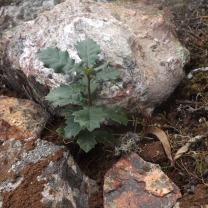 Carvalho-cerquinho (Quercus faginea)