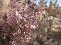 Torga (Calluna vulgaris)