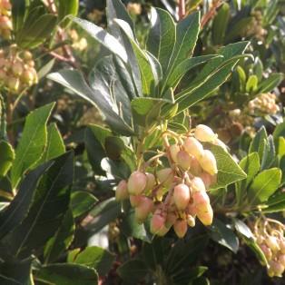 Medronheiro (Arbutus unedo L.)