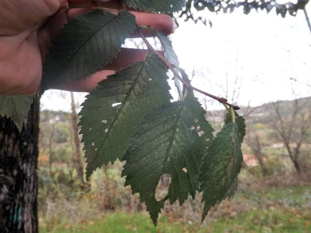 As folhas do Olmo...