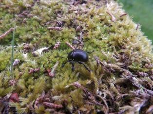 Um pequeno besouro vagueia por entre o musgo...