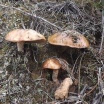 """Suillus bellinii, conhecido como """"míscaro dos pinhos"""""""