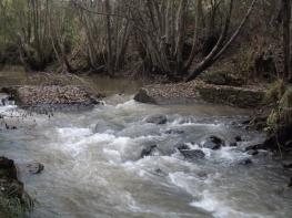 Neste local da ribeira a água corre com força, nas margens vemos amieiros.
