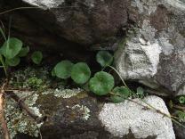 """Orelhas-de-monge ou também conhecidas como """"Conchelos"""" Umbilicus rupestris"""