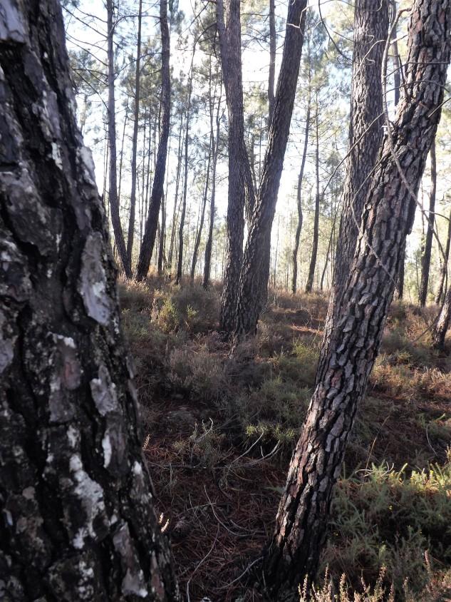 Por entre uma floresta de pinhos.