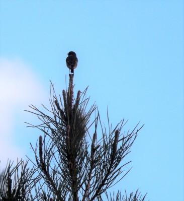 Um Cartaxo-comum (Saxicola rubicola) pousado na ponta de um pinheiro parece contemplar a paisagem.