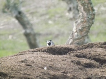 Alvéola-branca (Motacilla alba)