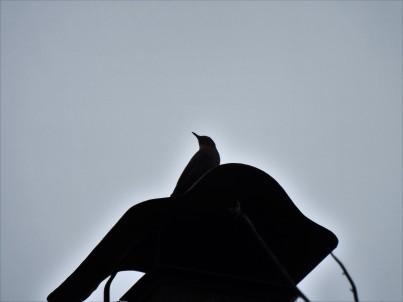 A dona do pedaço, uma fêmea de melro-azul