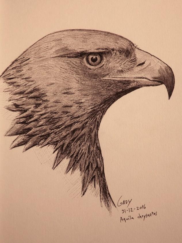ilustração- águia real