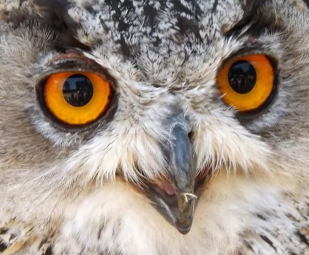 Os enormes olhos cor de laranja do Bufo-real.