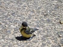Chapim-real, um juvenil que apanhei penso que em Agosto, acabei por o colocar em cima de um telhado.