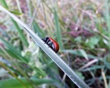 Escaravelho-vermelho (Chrysolina grossa)