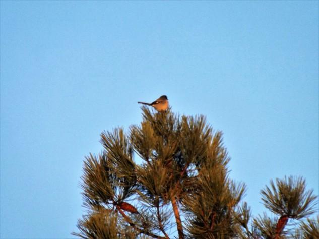 No topo de um pinheiro avisto um picanço-real.