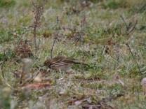 No chão uma petinha-dos-prados, uma ave que inverna por cá.