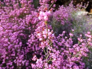 As pequeníssimas flores da Erica umbellata.