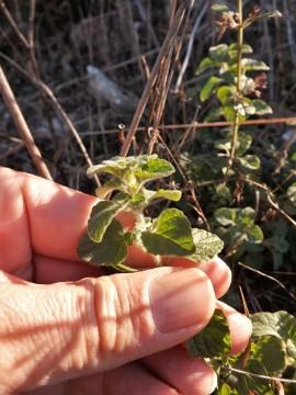 Erva-das-azeitonas