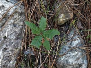 carvalho-cerquinho plantado há um ano