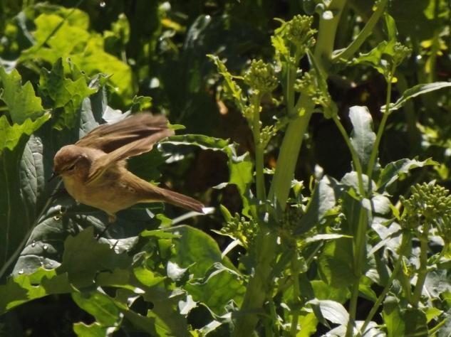 A felosinha a alimentar-se numa horta.