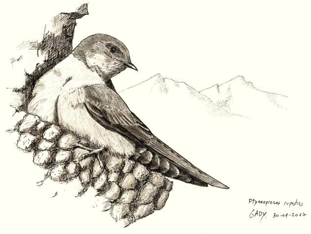 Ilustração de uma andorinha-das-rochas (Ptyonoprogne rupestris)