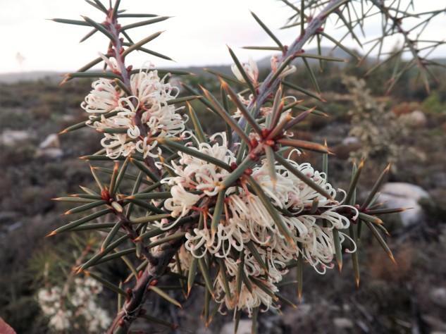 Háquea-espinhosa (Hakea sericea) em floração.