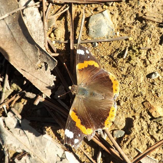 borboleta-almirante-vermelho (Vanessa atalanta)