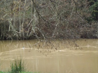 Um casal de pato real no espelho de água da ribeira-de-eiras.