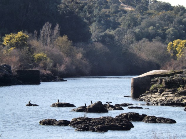 Corvos-marinhos-de-faces-brancas vigiam as águas.