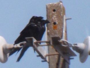 Casal de corvos em Casas-da-ribeira (Mação)