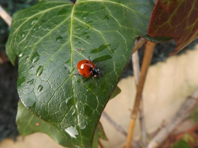 Joaninha-de-sete-pontos (Coccinella septempunctata)