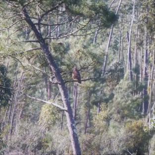 Águia-de-asa-redonda pousada num pinheiro.