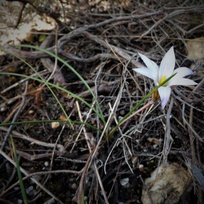Romulea bulbocodium, Rosmaninhal-Mação