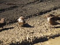 Andorinha-das-rochas