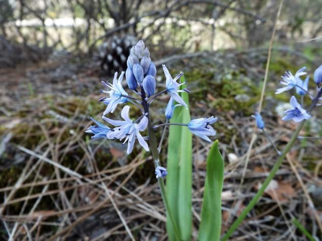 Flores azul-violeta.