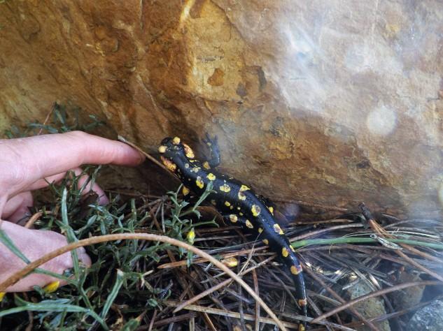 """Alimenta-se dos mais variados """"bicharocos"""" desde caracóis a formigas, escaravelhos, centopeias, entre muitos outros."""