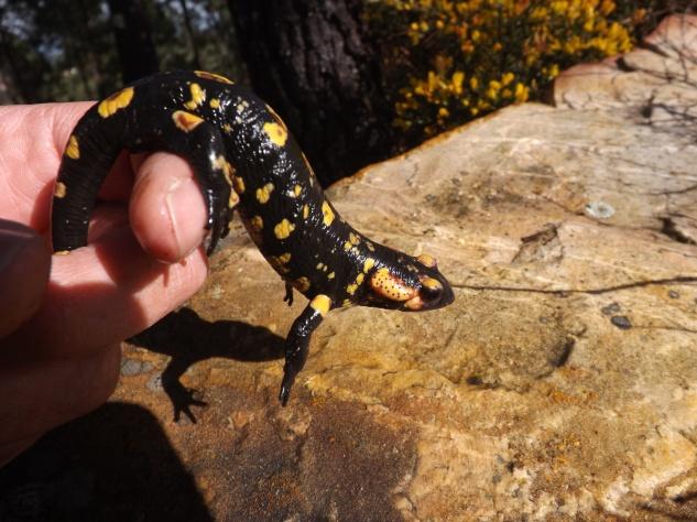 """""""salamandra-de-fogo"""" (Salamandra salamandra)"""