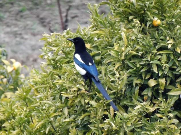 A pega-rabuda é da família dos corvídeos, preta e branca, os reflexos no preto por vezes revelam verdes e azuis.