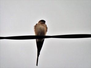 Andorinha-dáurica