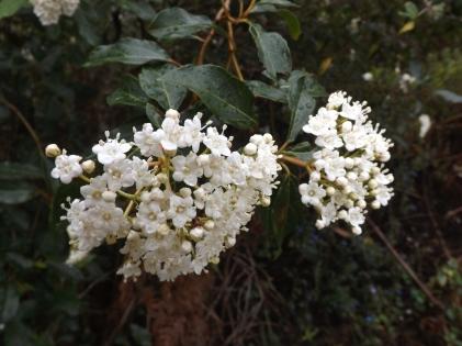 Folhado (Viburnum tinus L.)