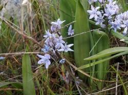 Cila-de-uma-folha (Scilla monophyllos L.)