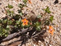 Morrião-dos-campos (Anagallis arvensis L.)