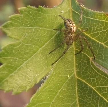 Uma pequena aranha sobre uma folha de pilriteiro.