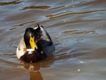 Pato-real (Anas platyrhynchos), neste caso o macho.